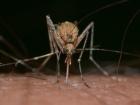 Mosquito culex pipiens. Pixabay/Public domain