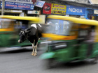 A cow stands in the middle of a busy road as auto-rickshaws pass by in Bengaluru, India