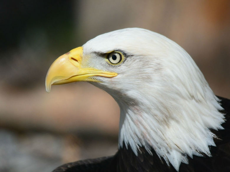 Image: Bald eagle. Pixabay/Steppinstars. Public domain.