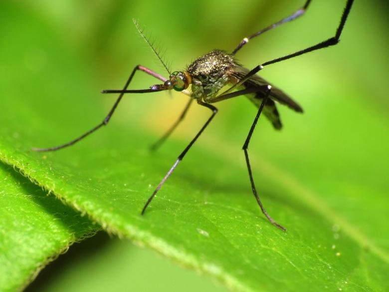 Woodland mosquito (does not carry Zika virus). Flickr/Katja Schulz