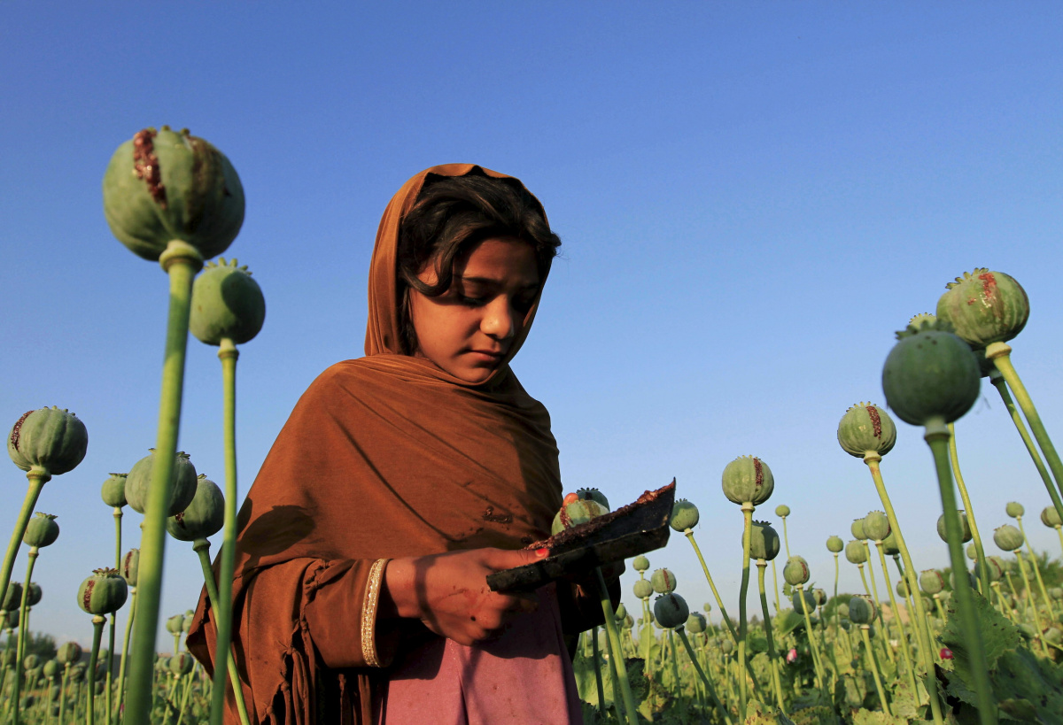 An Afghan girl gathers raw opium on a poppy field on the outskirts of Jalalabad April 28, 2015. REUTERS/Parwiz