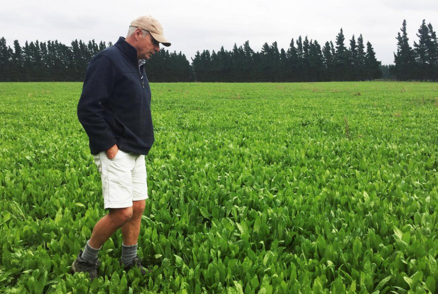 """Farmer Dave Harper inspects a field of chicory herbs carefully selected for grazing a special variety of lamb known as """"Te Mana lambs"""", bred for their high omega 3 content, on a farm in Windwhistle, New Zealand, March 14, 2019. Picture taken March 14, 201"""