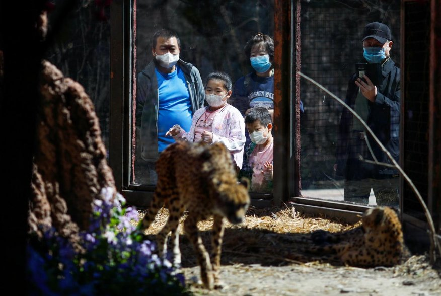Visitors wearing protective masks look at cheetahs at the Beijing Zoo, during the new coronavirus disease (COVID-19) outbreak, in Beijing, China April 3, 2020. REUTERS/Thomas Peter