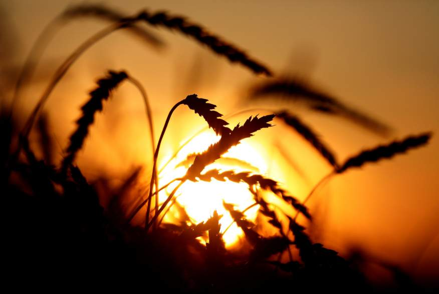 """A view shows ears of wheat in a field owned by the """"Siberia"""" farming company during sunset outside the village of Ogur in Krasnoyarsk Region, Russia September 8, 2019. Picture taken September 8, 2019. REUTERS/Ilya Naymushin"""