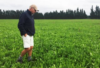 Farmer Dave Harper inspects a field of chicory herbs carefully selected for grazing a special variety of lamb known as