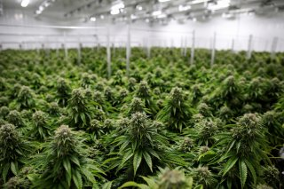 Chemdawg marijuana plants grow at a facility in Smiths Falls, Ontario, Canada October 29, 2019. REUTERS/Blair Gable