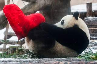 Giant male panda Ru Yi plays with a heart-shaped pillow on Valentine's Day at the Moscow Zoo in the capital Moscow, Russia February 14, 2020. REUTERS/Maxim Shemetov