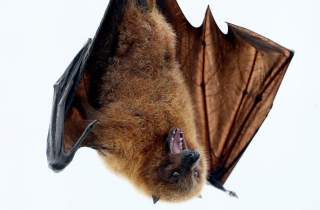 How African Bats Could Be Crucial To Understanding