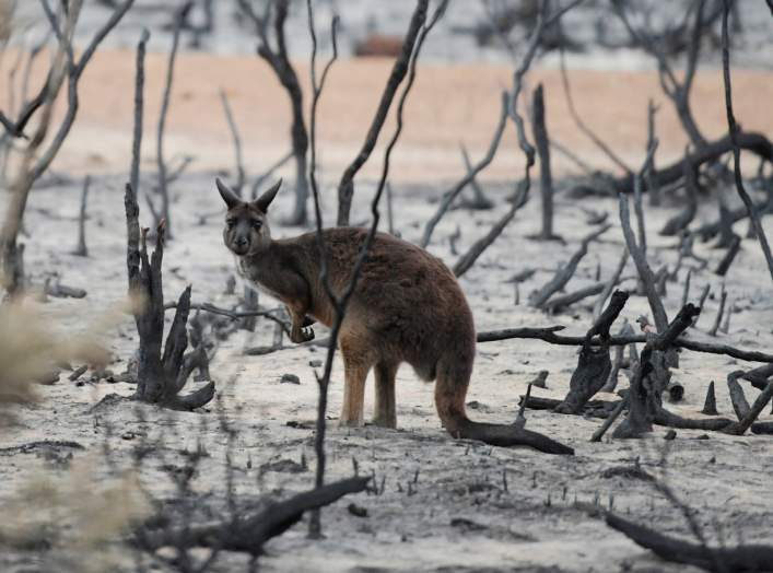 A wallaby is seen on in burnt bushland on Kangaroo Island, Australia January 19, 2020. REUTERS/Tracey Nearmy