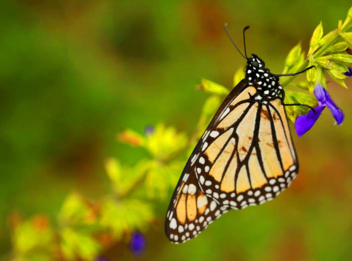 A monarch butterfly is seen at El Rosario sanctuary for monarch butterflies in the western state of Michoacan, near Ocampo, Mexico February 3, 2020. REUTERS/Alan Ortega