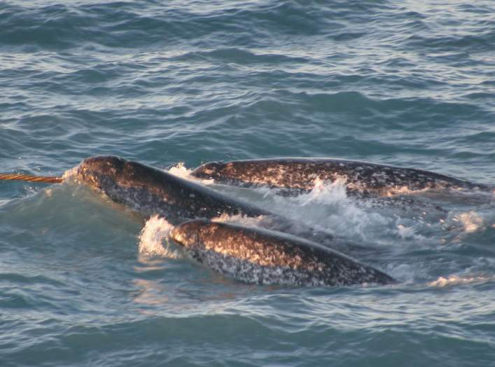 A pod of narwhals. Note the spiral configuration of the single tusk.