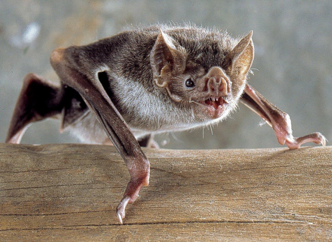Coronavirus: Why Don't Bats Get Sick?